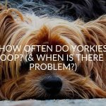 How Often Do Yorkies Poop? (& When Is There A Problem?)