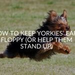 How to Keep Yorkies' Ears Floppy (Or Help Them Stand Up)