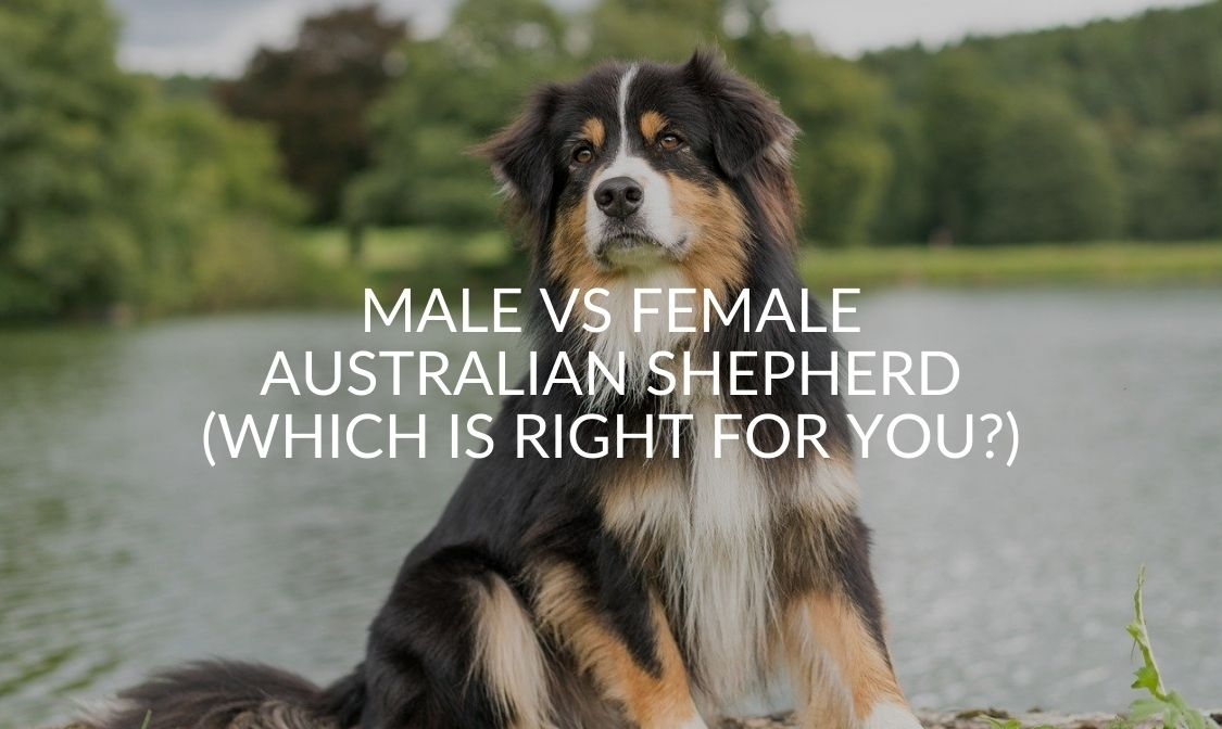 Male Vs Female Australian Shepherd (Which Is Right For You)