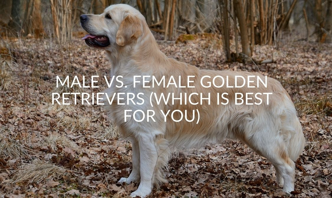 Male Vs. Female Golden Retrievers (Which Is Best For You)