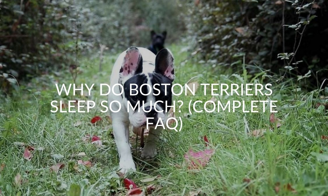 Why Do Boston Terriers Sleep So Much (Complete FAQ)