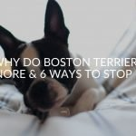 Why Do Boston Terriers Snore & 6 Ways To Stop It!
