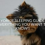 Yorkie Sleeping Guide (Everything You Want To Know!)