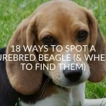 18 Ways To Spot A Purebred Beagle (& Where To Find Them)
