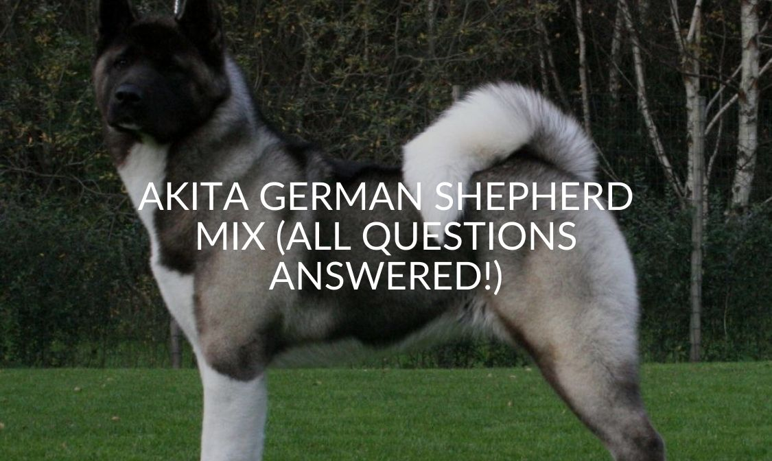 Akita German Shepherd Mix (All Questions Answered!)