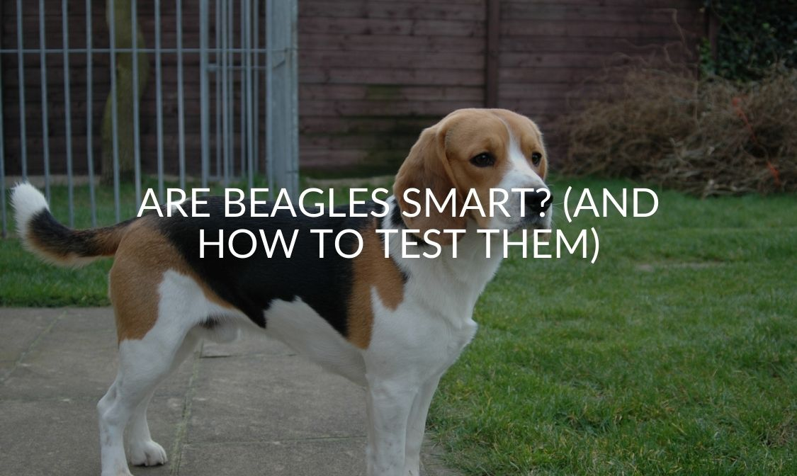 Are Beagles Smart (And How To Test Them)