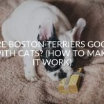 Are Boston Terriers Good With Cats? (How To Make It Work)