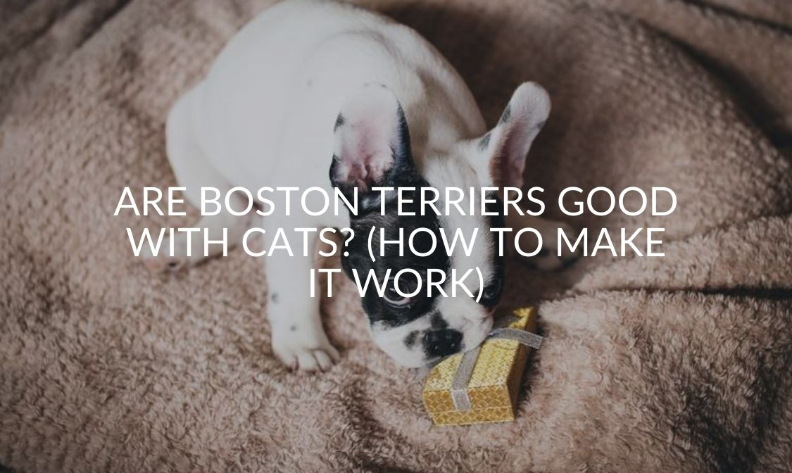 Are Boston Terriers Good With Cats (How To Make It Work)