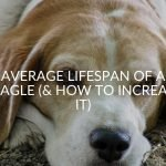Average Lifespan Of A Beagle (& How To Increase It)