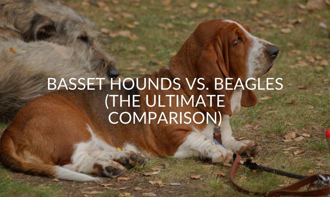 Basset Hounds Vs. Beagles (The Ultimate Comparison)