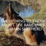 Everything To Know About The Rare Liver German Shepherd