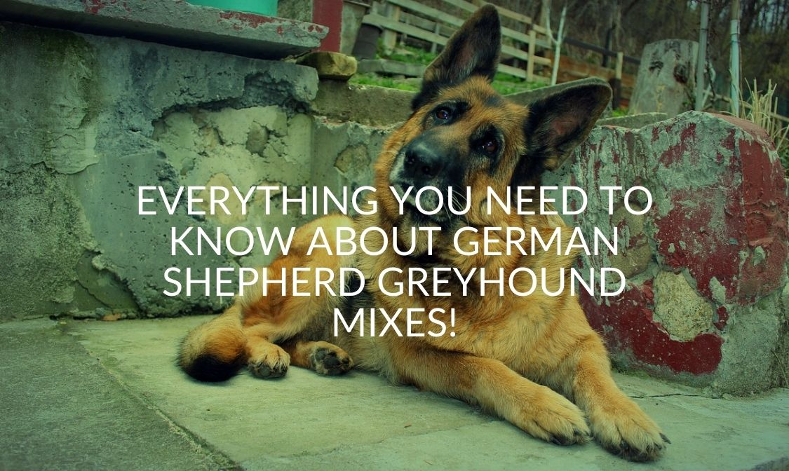 Everything You Need to Know About German Shepherd Greyhound Mixes!