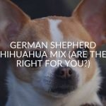 German Shepherd Chihuahua Mix (Are They Right For You?)