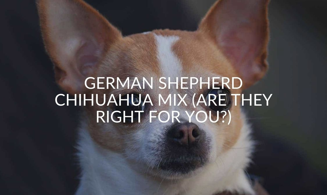 German Shepherd Chihuahua Mix (Are They Right For You)