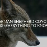 German Shepherd Coyote Mix (Everything To Know)