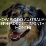 How Big Do Australian Shepherds Get? (Month By Month)