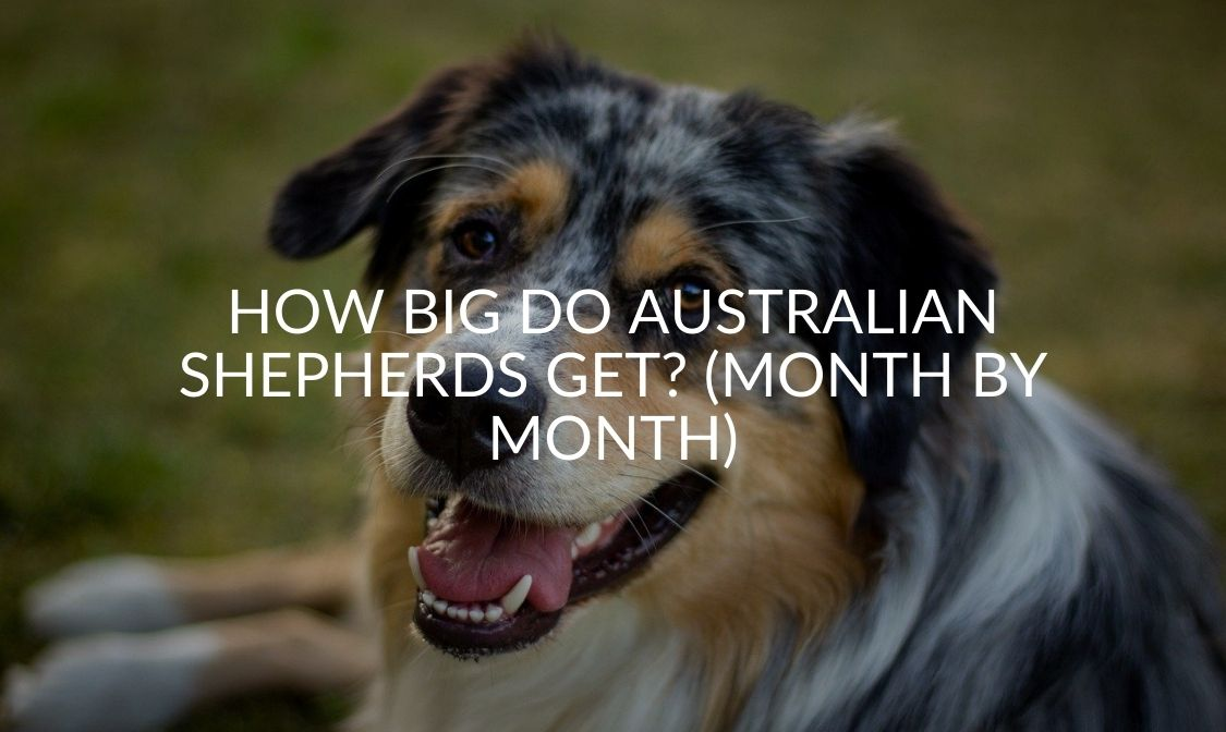 How Big Do Australian Shepherds Get (Month By Month)