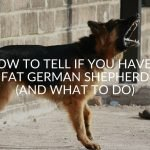 How to Tell if You Have An Overweight German Shepherd (And What To Do)
