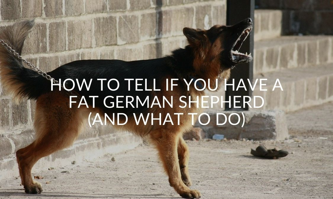 How to Tell if You Have a Fat German Shepherd (And What To Do)