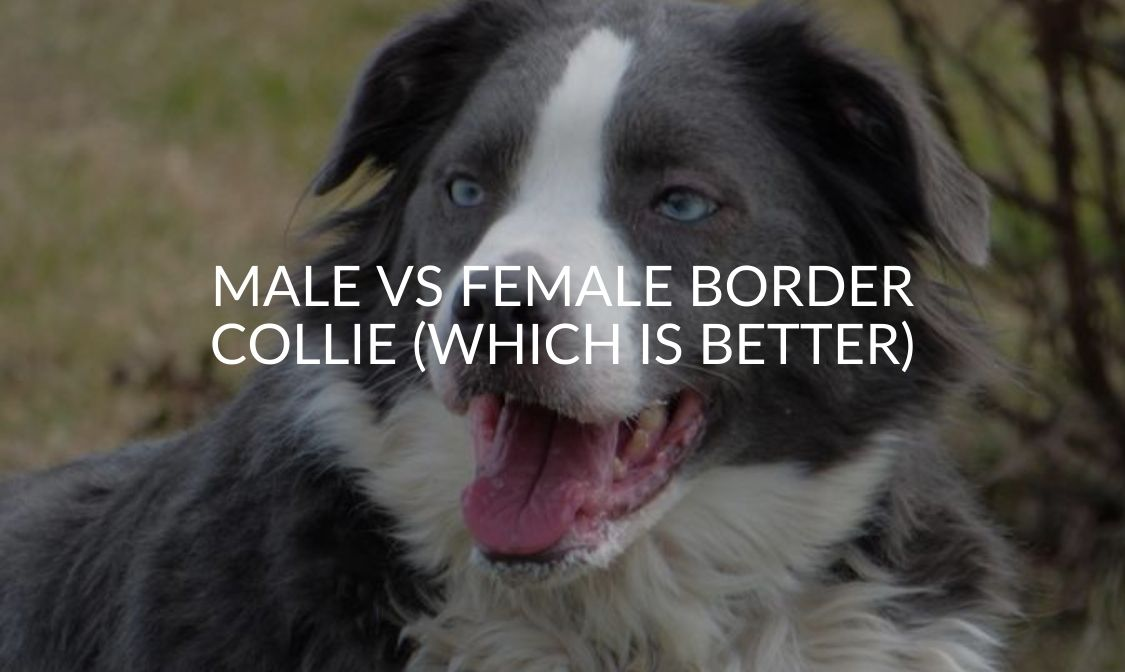 Male Vs Female Border Collie (Which Is Better)