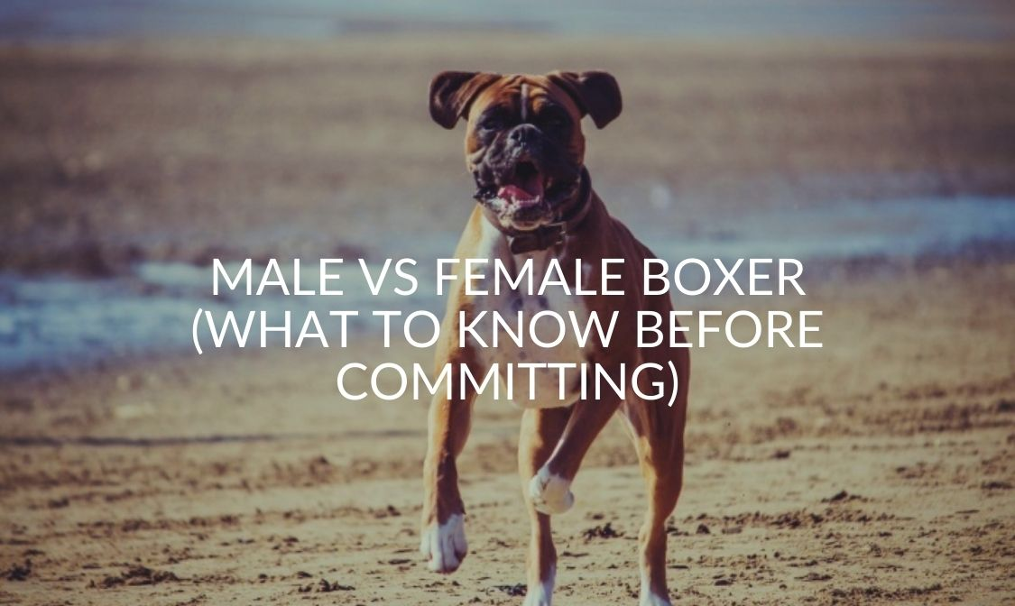 Male Vs Female Boxer (What To Know Before Committing)