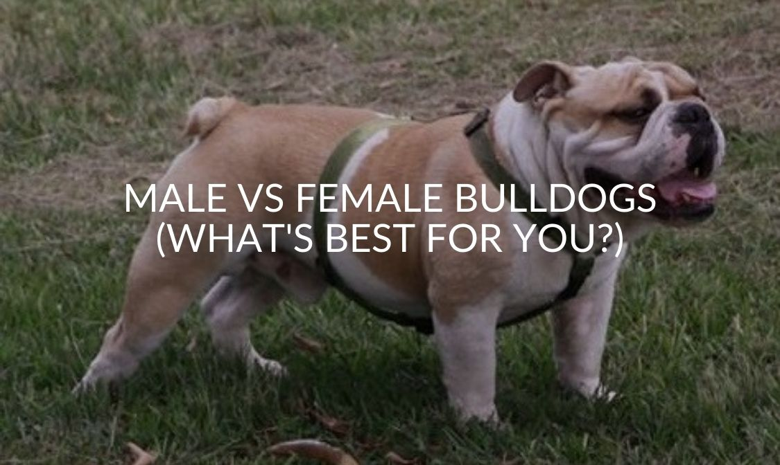 Male Vs Female Bulldogs (What's Best For You)