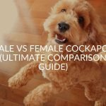 Male Vs. Female Cockapoo (What's Best For You?)