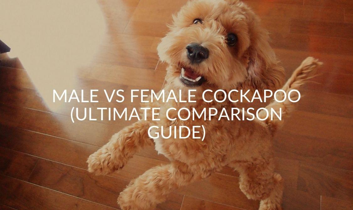 Male Vs Female Cockapoo (Ultimate Comparison Guide)