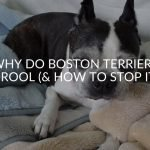 Why Do Boston Terriers Drool (& How To Stop It)