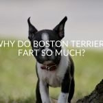 Why Do Boston Terriers Fart So Much?
