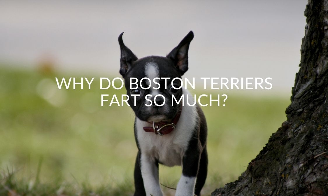 Why Do Boston Terriers Fart So Much