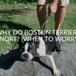 Why Do Boston Terriers Snort? (When To Worry)