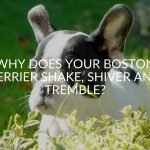 Why Does Your Boston Terrier Shake, Shiver And Tremble?