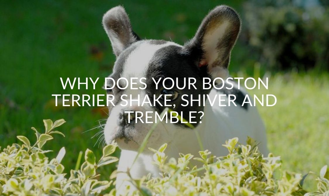 Why Does Your Boston Terrier Shake, Shiver And Tremble