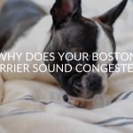 Why Does Your Boston Terrier Sound Congested?