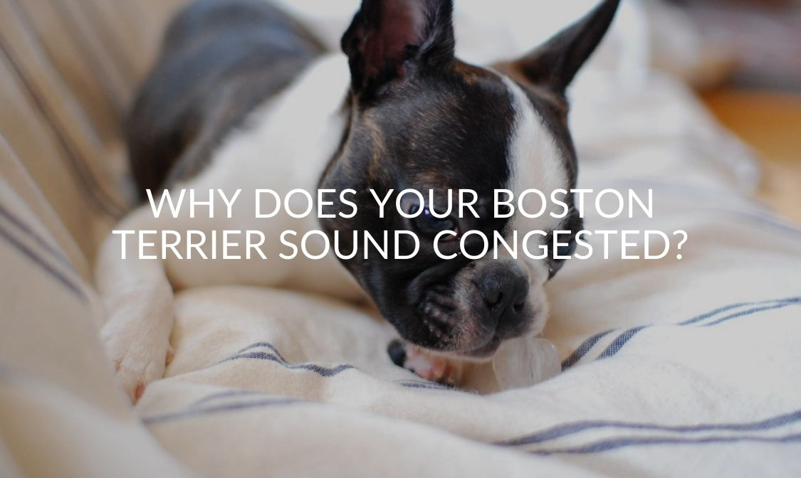 Why Does Your Boston Terrier Sound Congested