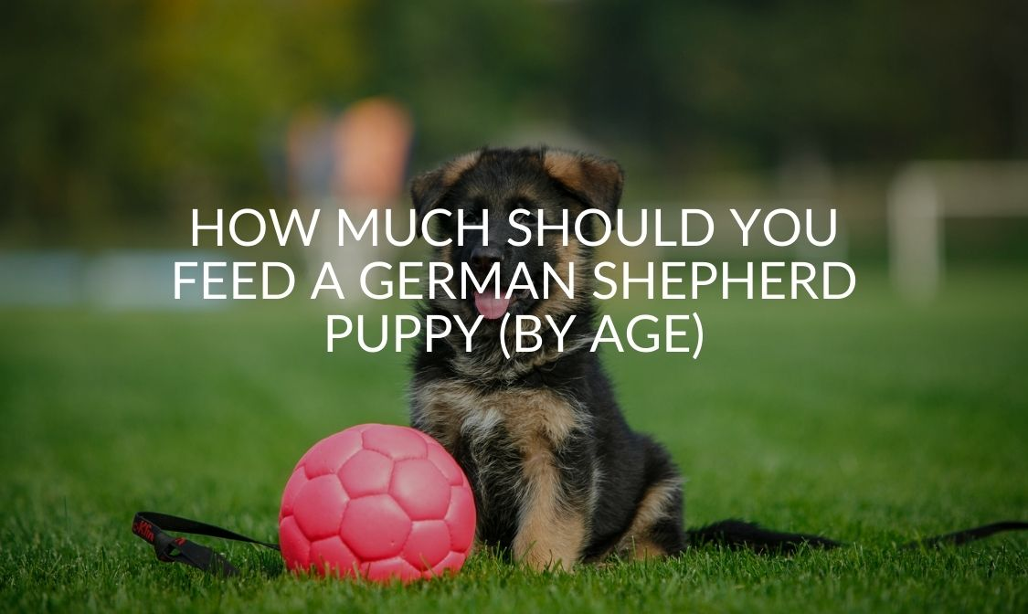 How Much Should You Feed A German Shepherd Puppy (By Age) (1)