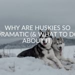 Why Are Huskies So Dramatic (& 5 Things To Do About It)