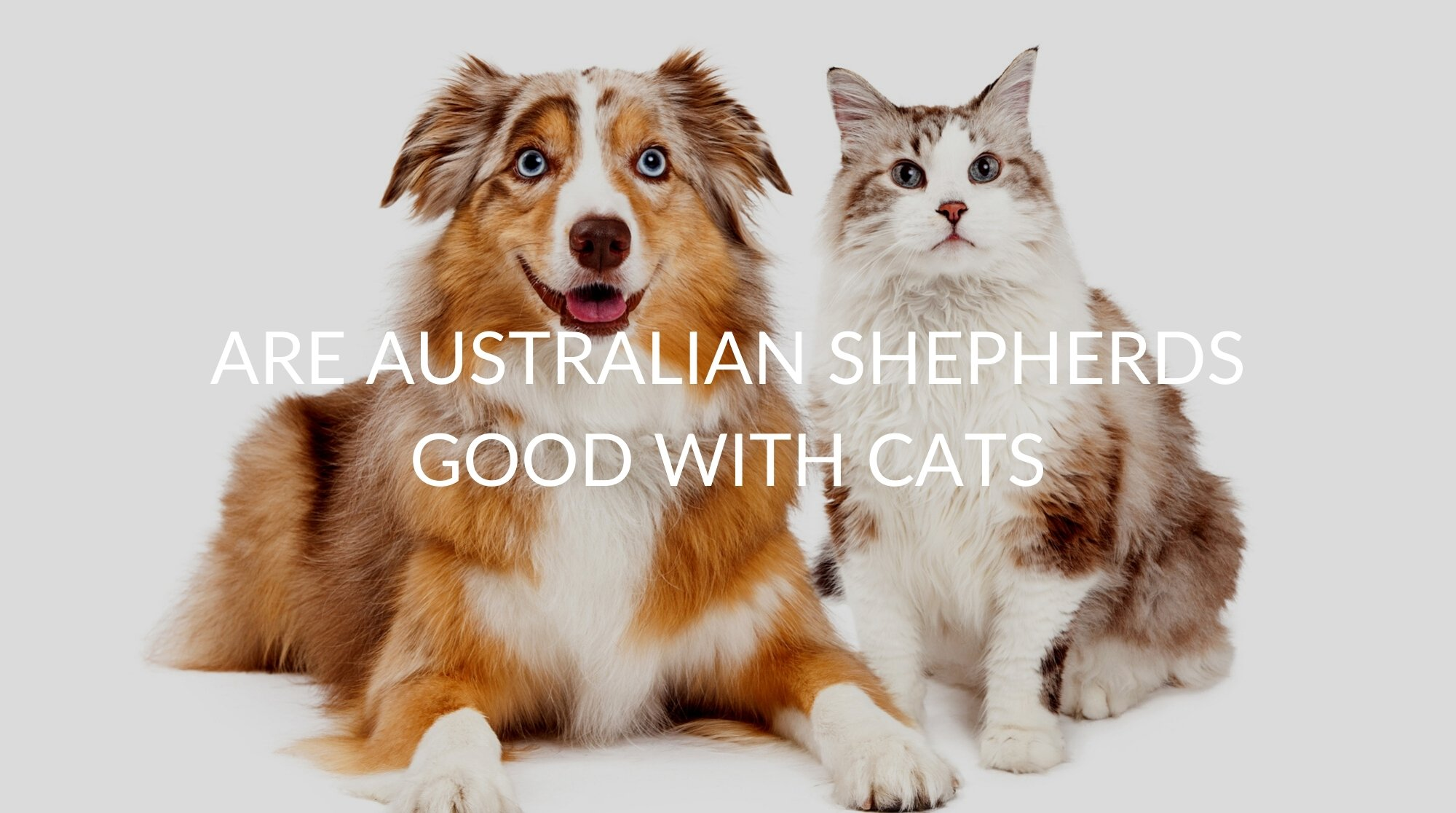Are Australian Shepherds Good With Cats