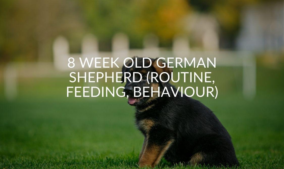 8 Week Old German Shepherd (Routine, Feeding, Behaviour)