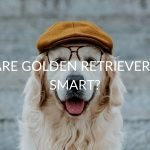Are Golden Retrievers Smart? (And How To Tell If Yours Is!)