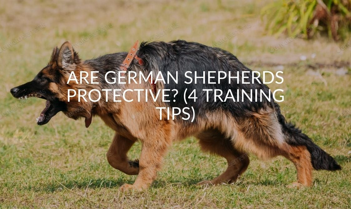 Are German Shepherds Protective (4 Training Tips)