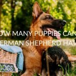 How Many Puppies Can A German Shepherd Have (5 Determining Factors)