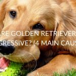 4 Must-Know Causes Of Aggression In Golden Retrievers (And How To Stop It)