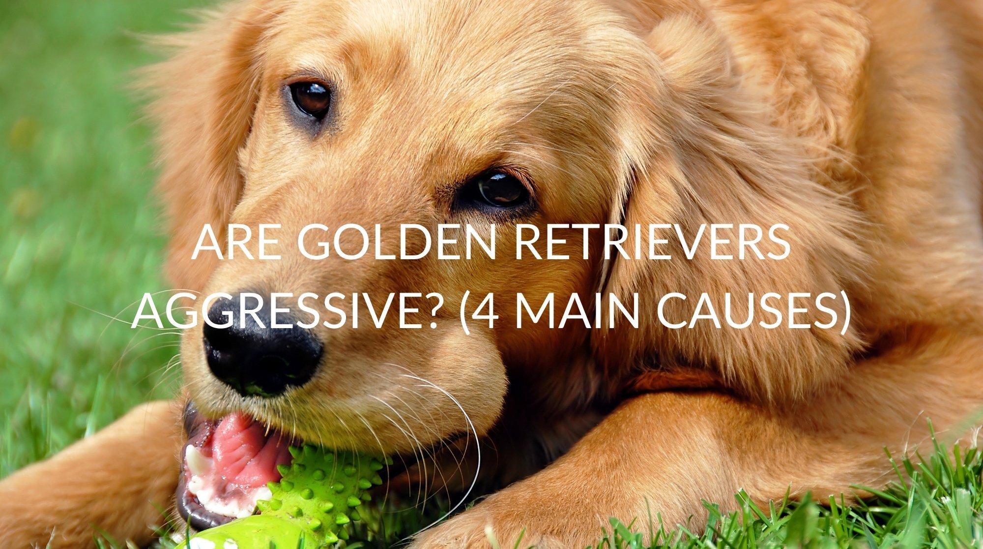Are Golden Retrievers Aggressive? (4 Main Causes)