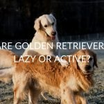 Are Golden Retrievers Lazy or Active? (& When You Should Panic)