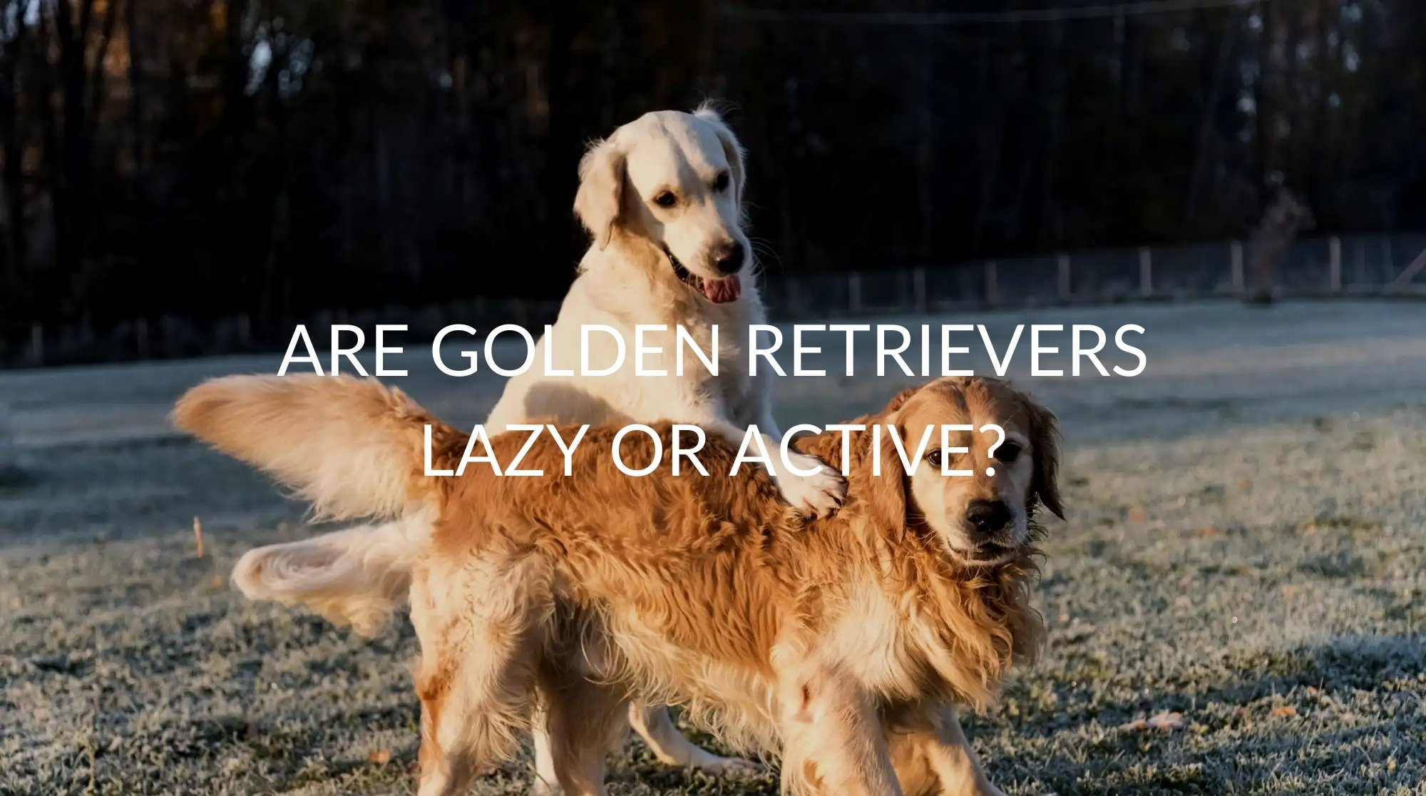 Are Golden Retrievers Lazy or Active?