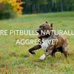 Are Pitbulls Naturally Aggressive? (And How To Spot When Yours Is)