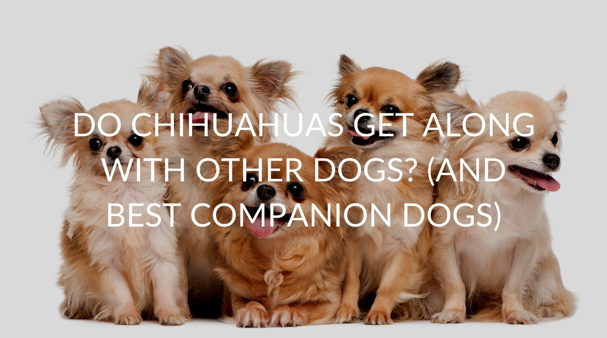 Do Chihuahuas Get Along With Other Dogs? (And Best Companion Dogs)