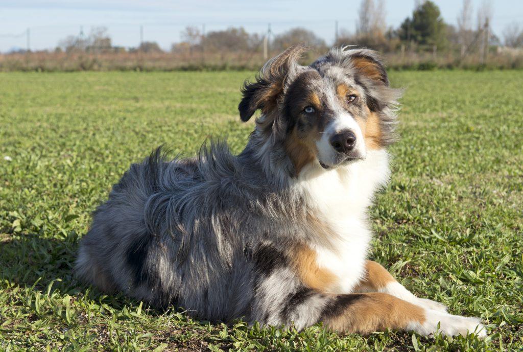 portrait of purebred australian shepherd in a field